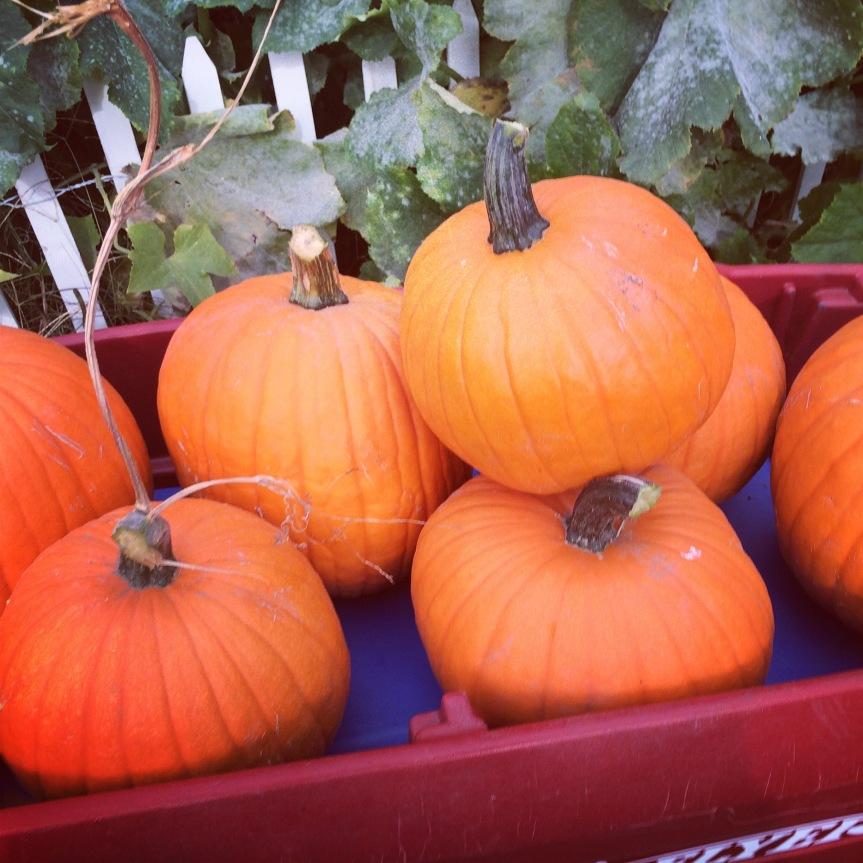 harvest and halloween…